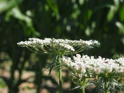 wild carrot flower umbel