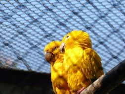 two yellow parrots in a big cage