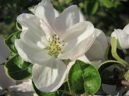 white apple flower blossom