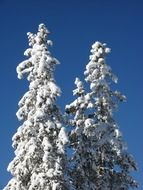 snowy trees in sunny forest
