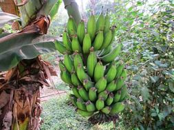 green bananas are growing on a banana palm tree