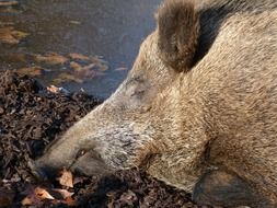 photo of a wild boar in the mud