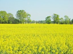 splendiferous oilseed rape field