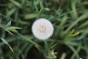 ripe seeds of dandelion