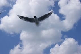 seagull in flight on a background of white clouds