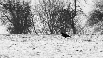 black crow on a snow field