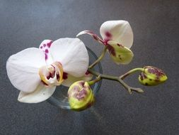 white-pink blooming orchid in a vase