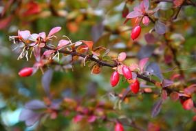 wild rose bush with berries in nature