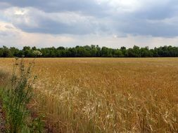 summer field with cereals harvest