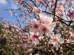 attractive tree cherry blossom