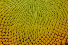 yellow sun flower seeds