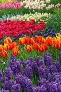 colorful hyacinths and tulips garden