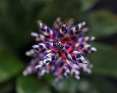 aechmea - genus of perennial herbaceous plants