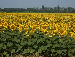 Field of the sunflowers