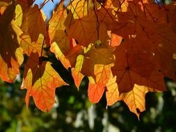 autumn foliage in bright sun close up