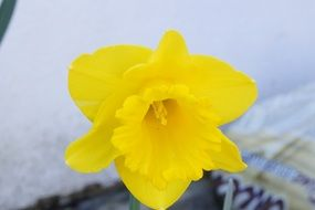 yellow daffodil flower blossom