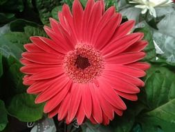 red gerbera on a bush close-up