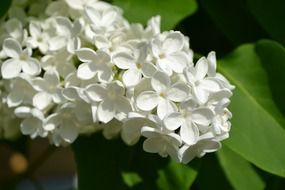 blooming white lilac on a bush