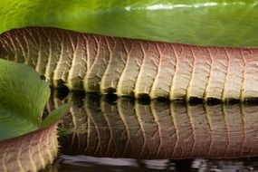 giant water lily leaves reflection