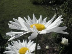marguerite flowers in summer