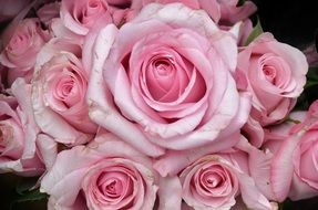 adorable pink roses bouquet close-up