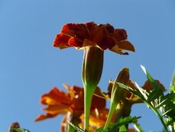 bottom view of the Turkish carnation against the sky