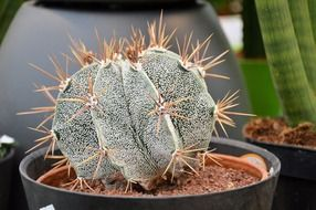 cactus potted plant ornamental