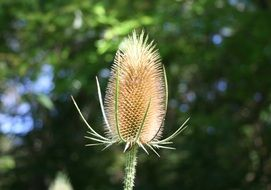 spiny teasels