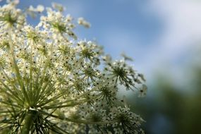 picture of the queen anne\'s lace plant