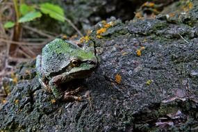 tree frog on black stone