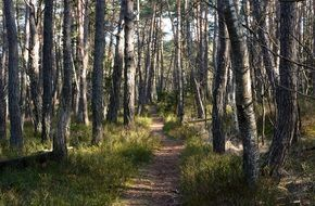 hiking path in a pine forest