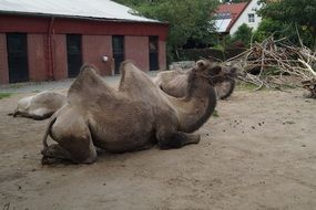 bactrian camel in a zoo