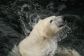 polar bear swims in cold water