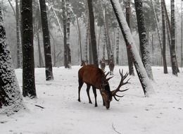 Red deer in the forest in winter