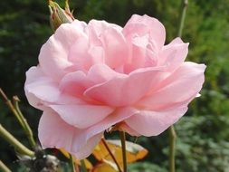 tender pink rose flowers blossom