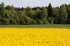yellow rape field on a background of green forest