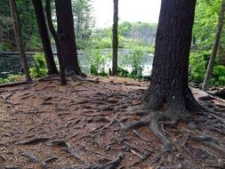 root system of trees in the forest in new england