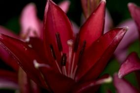 burgundy lily close up