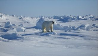 polar bear among endless white snows