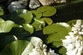 frog on a pond on large green leaves