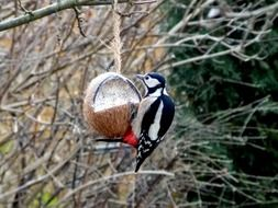 great spotted woodpecker eating from stuffed coconut