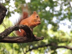 red squirrel nibbles a nut