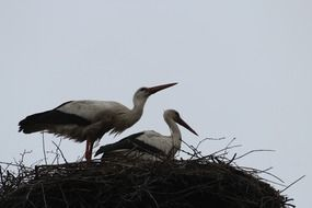 two storks in nest close up