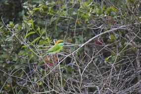 green bee-eater on a spring bush
