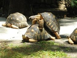 picture of the turtles mating