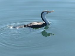 two-color cormorant swims in a pond