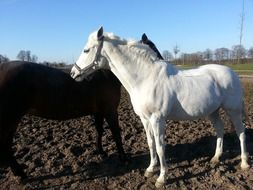 Beautiful white and black horses on the ground