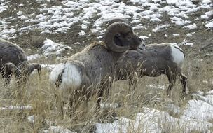 brown bighorn sheep in the mountains