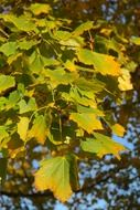 acer platanoides leaves close