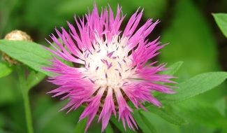 Pink flower with thin stems and green leaves